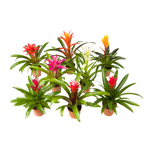 Bromeliaceae Potted Plant Ikea