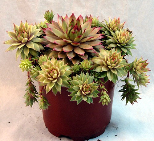 Magenta Hens Chicks Semperviven Indoors Or Out By Hirtsgardens