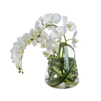 Sia Phalaenopsis Orchid With Leaves In Water