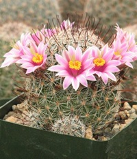 Mammillaria Microcarpia Cactus Plant By Cactuslimon On Etsy