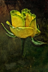 Rose Of Yellow Stretched Canvas By J Coe Photography Society6