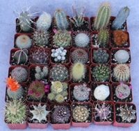 Amazon.Com 36 Cactus Misc 2Inch Potted Cactus Collection Succulent Plants Patio Lawn And Garden