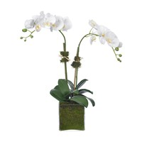 Diane James Phalaenopsis Orchid 2 Stem Glass Cube