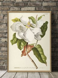 The Dybdahl Co. Magnolia. Plantae Print
