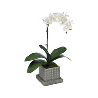 Diane James Small Phalaenopsis Orchid