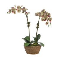 Diane James Phalaenopsis Orchid 2 Stem Green Burgundy