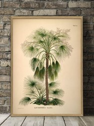 The Dybdahl Co. Livistona Humilis. Botanical Palm Print