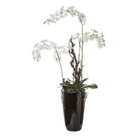 Sia Tall White Phalaenopsis Orchid With Foliage In Black Pot
