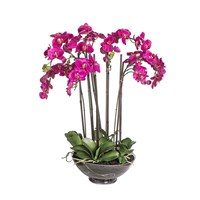 Potted Phalaenopsis Orchid In Fuchsia Pink