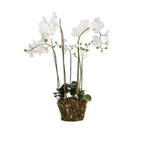 Sia White Phalaenopsis Orchid Showpiece With Soil And Moss