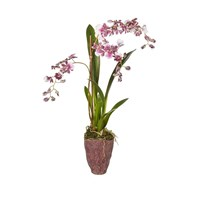 Sia Potted Purple Dancing Orchid Small