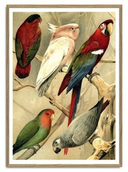 The Dybdahl Co. Parrots Illustrated Encyclopedia Print