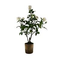 Sia Potted Roses White